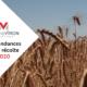 Champs de blé avant la récolte 2020